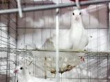 信鸽、观赏鸽清棚处理