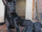 本场出售纯种黑狼犬 黑狼幼犬 质量好 血统保证