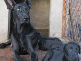 本场出售黑狼犬 黑狼幼犬 质量好 血统纯正