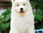 纯种微笑天使萨摩耶幼犬赛级犬后代保健康可视频签协议