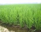 稻丰乐水稻返青柯杈肥