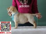 山西太原拉布拉多幼犬宠物狗转让 拉拉图片价格 神犬小七同款