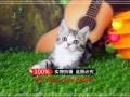 广州英短蓝猫 渐层 蓝白 美短虎斑 起司 折耳(包纯种健康)