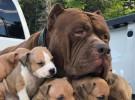 双血统比特 自家养殖 品相** 可打比赛 自家有狗
