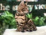 赛级豹猫 云豹花纹 性格黏人 活泼 疫苗驱虫已做