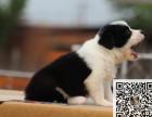 出售纯种边牧幼犬 价格合理品质保证可上门挑选