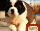 圣伯纳照片 圣伯纳成年多少斤 哪里犬舍繁殖圣伯纳