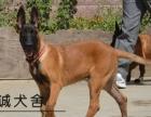 阳江哪里买马犬好 马犬价格 马犬图片