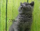 专业家庭式繁殖 蓝猫长相甜美包纯种