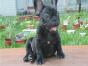 哪里有卖斗牛犬的 斗牛犬多少钱一只 斗牛犬体味大吗