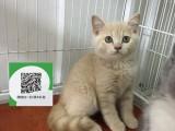 新乡哪里卖蓝猫 新乡哪里有宠物店 新乡哪里卖宠物猫便宜