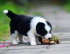 本地专业繁殖边牧幼犬 七白三通到位血统好可上门