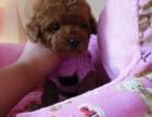 精品高端纯种韩系泰迪幼犬,犬只疫苗驱虫齐全保健康