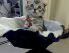 签署质保 正规猫舍售高品质纯血统 折耳猫 对外借配