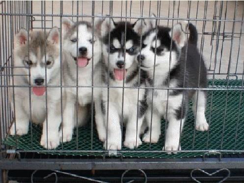 纯种哈士奇,正规犬舍繁殖,三把火蓝眼睛,赛级品质