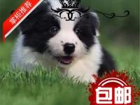 中国高端边境牧羊犬繁育专家边牧犬舍出售**边牧幼犬