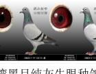 提供:台湾黑目纯灰牛眼信鸽