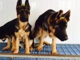 佛山 高品质的德国牧羊犬出售了 疫苗做完 质量三包