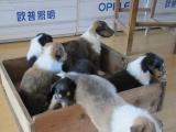 家养纯种苏格兰牧羊犬宝宝找新家。