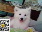 哪里有卖银狐犬银狐犬多少钱银狐犬图片银狐犬幼犬