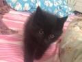 一个月小黑猫出售