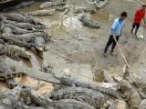 辽宁葫芦岛市伟业鳄鱼养殖场批发鳄鱼肉鳄鱼皮-野味批发