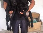 出售两个月左右的大骨架黑拉布拉多幼犬