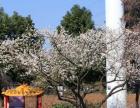 春游+踏青+赏花+感受春的气息就来武汉张公山寨