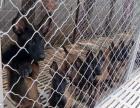 出售精品马犬2~4个月纯血幼犬