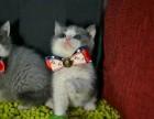 自家繁育纯种英短加白 蓝猫 包子脸 保证健康无猫癣