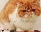 出售纯种短毛猫加菲猫 红虎斑纹 黄白净梵纹 包纯种