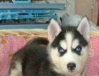 哈士奇幼犬——保证健康多只选择——赠送狗笼子