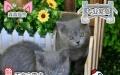 自家繁殖 短毛幼猫低价出售 咨询有惊喜