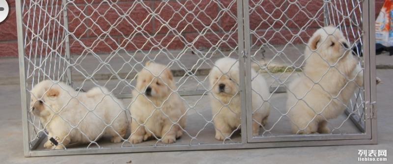 出售松狮犬宝宝 比较精品的松狮 非诚勿扰