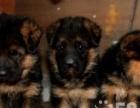 看家护卫的小德国牧羊犬转让啦,小狗狗是很正直也很听话