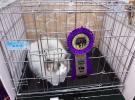 注册猫舍Timemory,国外引进,繁育纯种布偶