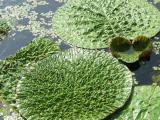 白洋淀水生植物苗