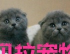【贝拉宠物】蓝猫折耳猫加菲猫金吉拉猫美短批发
