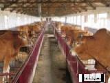 忻州市現在肉牛養殖情況