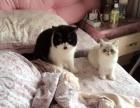 纯白色加菲猫已经怀孕了 卖生出来的宝宝