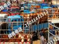 长兴县张家口肉牛市场/天天市集西门塔尔/肉牛崽/肉牛养殖