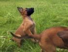 马犬幼犬 保证纯种健康 签订活体协议 包退换