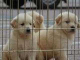 重庆出售 金毛犬,疫苗驱虫已做视频