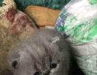 自家繁殖加菲猫5000元