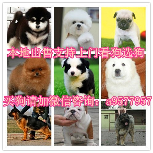 深圳哪里有雪纳瑞卖 萨摩耶 贵宾 柴犬 阿拉斯加多少钱价格