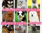 上海哪里卖哈士奇 拉布拉多 吉娃娃 雪纳瑞价格 支持上门看狗