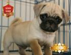 专业繁殖八哥犬养殖基地 可以来犬舍里挑选
