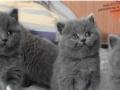 蓝猫、蓝白、金渐层、银渐层、出售