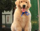 买狗找我 黄山哪里有卖纯种金毛犬,金毛犬多少钱?