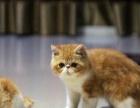 家养的一窝可爱的加菲猫,品种血统纯正,公母都有,